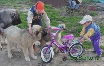 Собака Албанец Фото   216x340